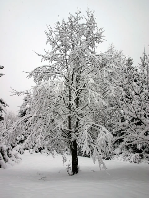 snow tree - it's all white
